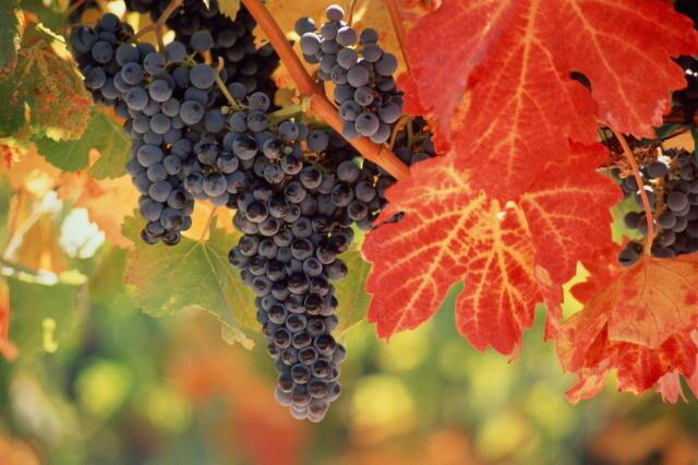 "Схема вышивки  ""Виноград "": таблица цветов."