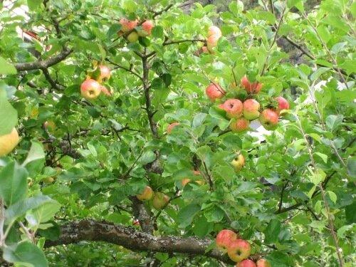 Райские яблоки.