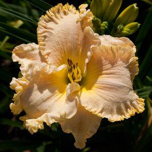 Лилейники в Саду Дракона летом 2011г 0_636b9_dadb6fa1_M