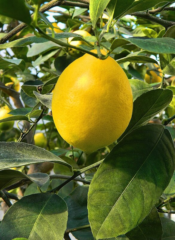 Вкусный и полезный лимончик. вкусно. природа. витамины. деревья.  Karina - S. лимон.