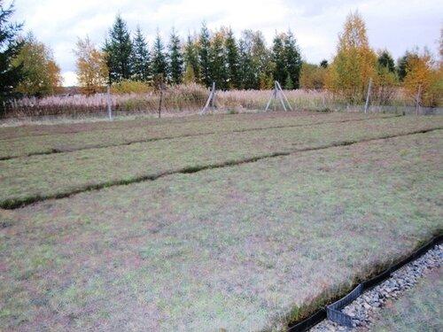 Корабельная сосна в Финляндии