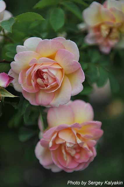 Rosa Fruehlingsduft (6).jpg