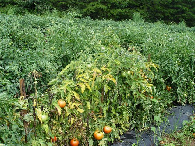 болезни томатов и перца