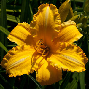 Лилейники в Саду Дракона летом 2011г 0_636a7_e1c97334_M