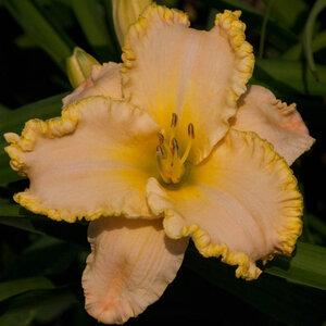 Лилейники в Саду Дракона летом 2011г 0_63785_150a7180_M