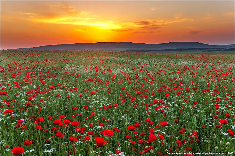 Цветение маков в Крыму