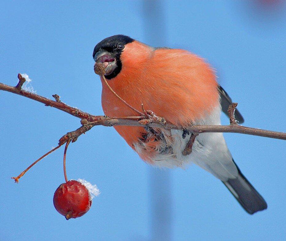 Снегири, снегири - птицы красногрудые.