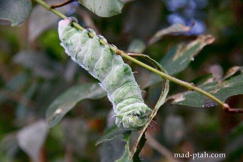 тенерифе, гусеница