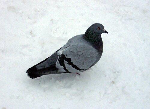 Открытки день, картинки для детей голубь зимой
