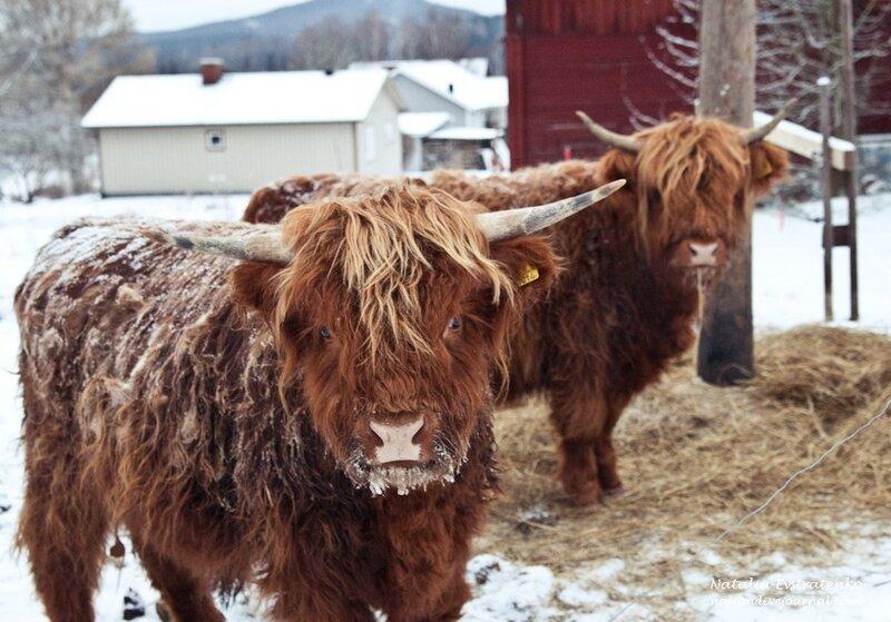 Швеция, коровы, животные, природа, шотландские хайлендские коровы, scottish highland cattle