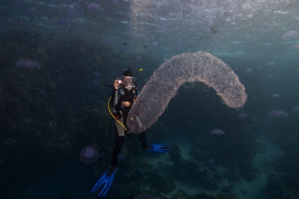 Огнетелки или гигантская подводная труба колонии, пиросом, пиросомы, светиться, животных, животные, колония, Пиросомы, несколько, пиросома, особи, жизни, Каждая, организма, которых, время, глубине, обладает, колониальные, Pyrosoma