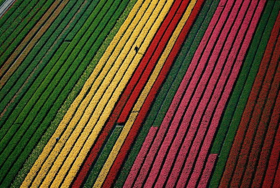 29. Поля тюльпанов возле Лиссе, Нидерланды.