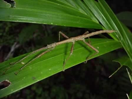гигантский палочник, самые большие насекомые