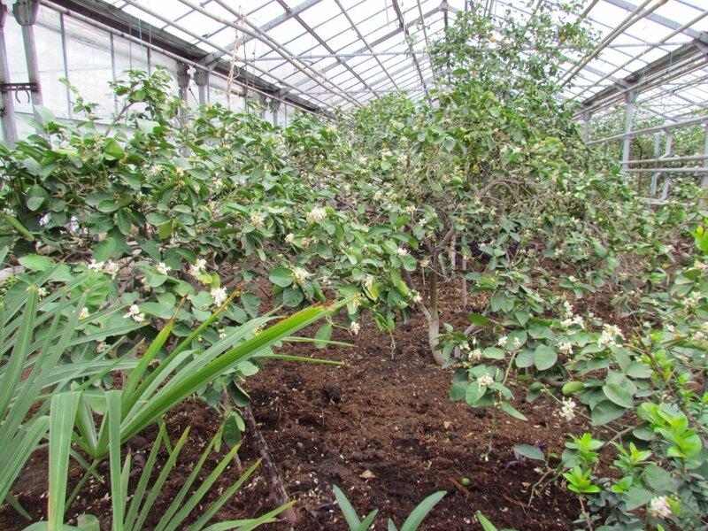 цветущи лимоны в уфимском лимонарии