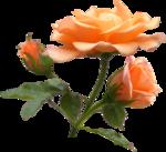 роза,розы пнг,