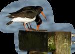 Птицы  разные  0_51c95_25a7bc9_S