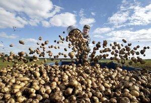 Почти треть картофеля убрано с полей Приморья