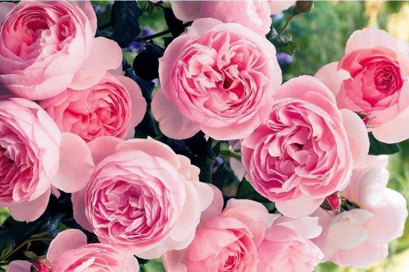 Красивые цветы пионы картинки