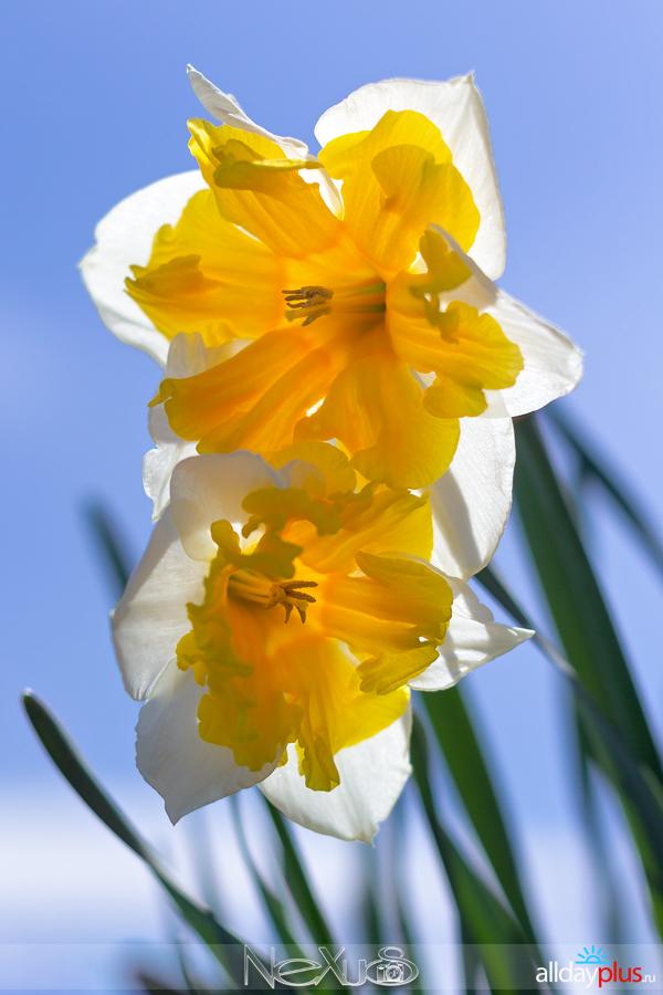 Я люблю все цветы, выпуск 152 | Тюльпан «Purissima» и нарцисс «Orangery».