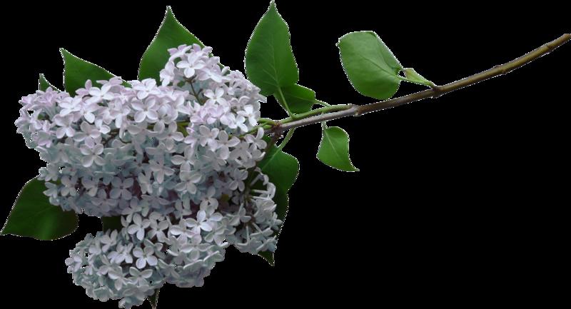 """Сирень, ветки, весна, цветение - клипарт PNG Spring Lilac Flowers """" Выпускные фотокниги, детские портреты, свадебные фотоальбомы"""