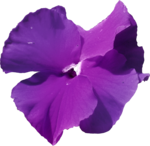 ial_sng_violet2.png