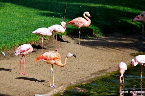 фламинго, лоро парк