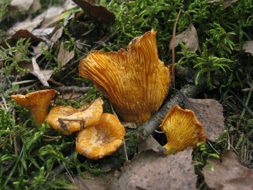 И они вчера были в свежезамороженном виде. В нескольких точках, где они растут летом, хотя бы несколько грибов, но присутствовало Автор фото: Станислав Кривошеев