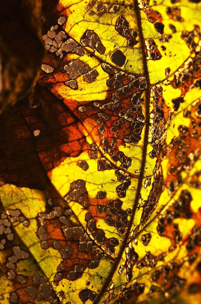 Autumn Leaf by David H-W (Extrajection)