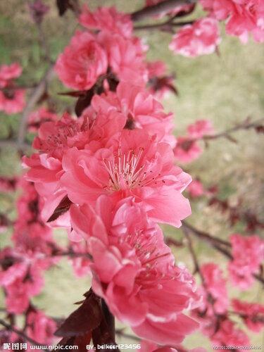 цветок Китая