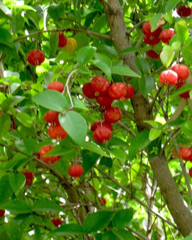 Питанга или Суринамская вишня,Бразильская вишня