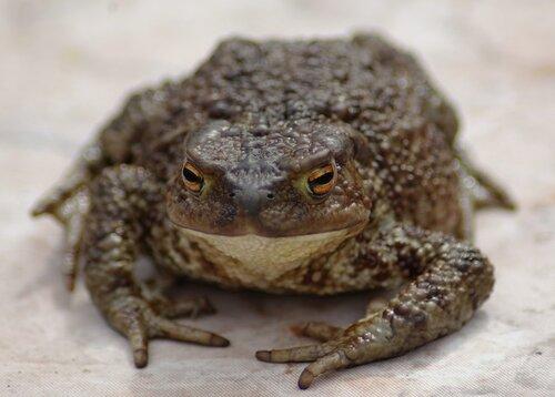 Первая весенняя жаба