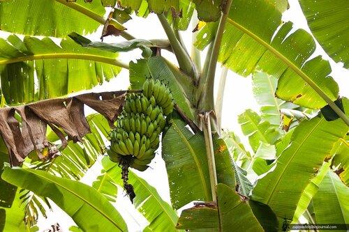 Банановая пальма. Лаос.
