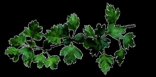 листочки пнг