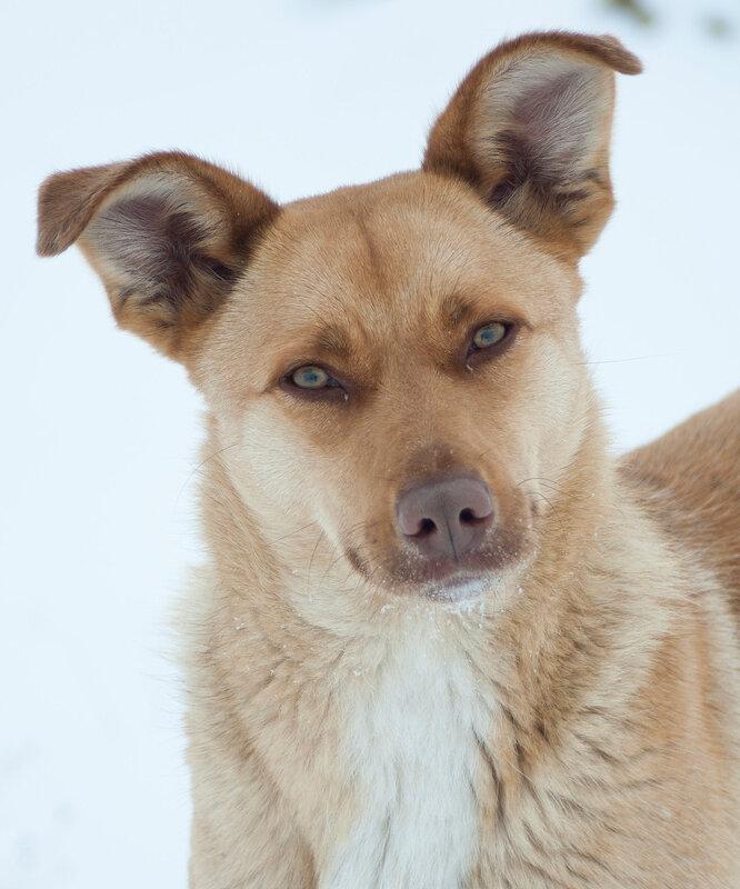 Рыжая собака Булка