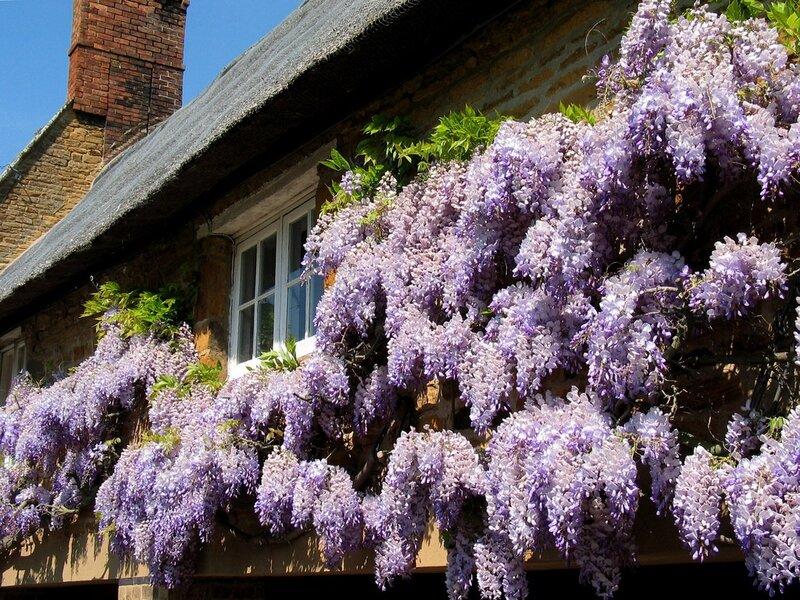 Душистые цветки собраны в соцветия 15 20