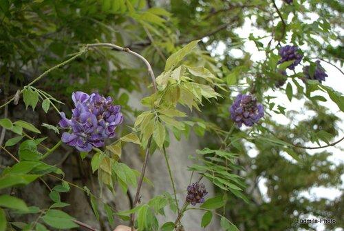 Глициния 'Amethyst Falls' (Wisteria frutescens)