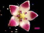 Clitoria ternatea.png