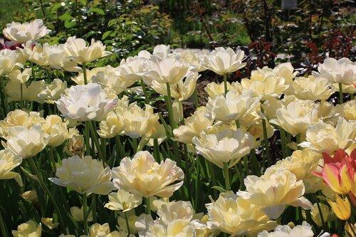 Чарминг леди тюльпан фото
