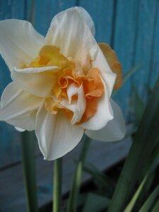 Орхидейный нарцисс.