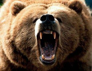 Бурый медведь - грозный хищник