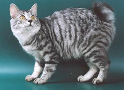 Курильский бобтейл (KBT) Кошки.  Каталог пород кошек, виды кошек, фото и...