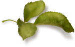 CreatewingsDesigns_LL_Leaf1_Sh.png