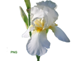 flower(ирис)