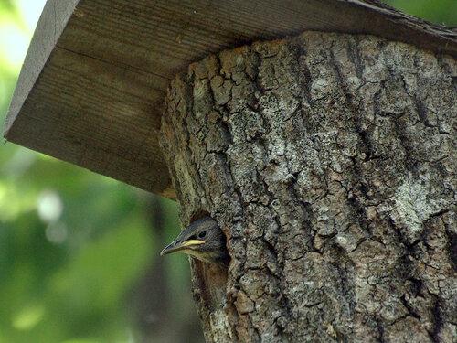 Обыкновенный скворец (Sturnus vulgaris). Птенец у себя дома. А в прошлом году этот скворечник успела занять семья дятлов. Автор фото: Юрий Семенов