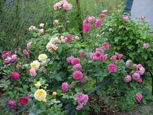 На каком расстоянии сажать кустовые розы друг от друга 96