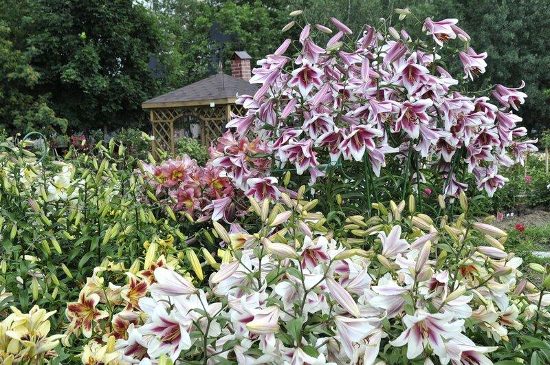 Лилии - Мой сад из лилий цветы и цветки