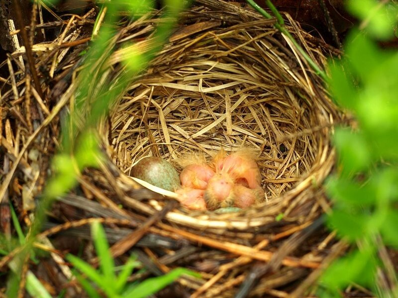 гнездо дрозда-белобровика