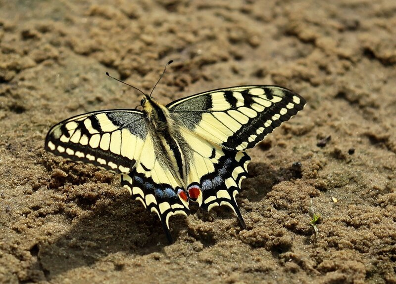 Махаон, Papilio machaon