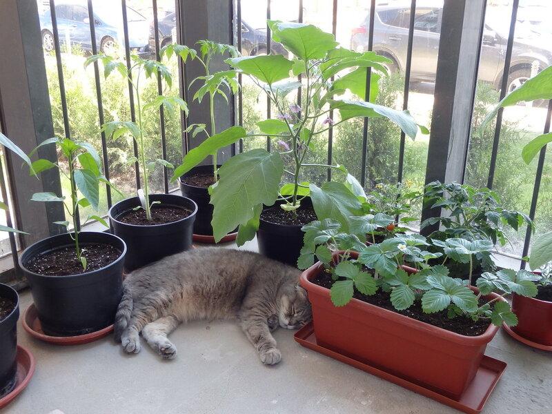 Как вырастить баклажаны на балконе, антикризисный urban farm.