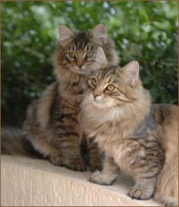 сибирская порода кошки